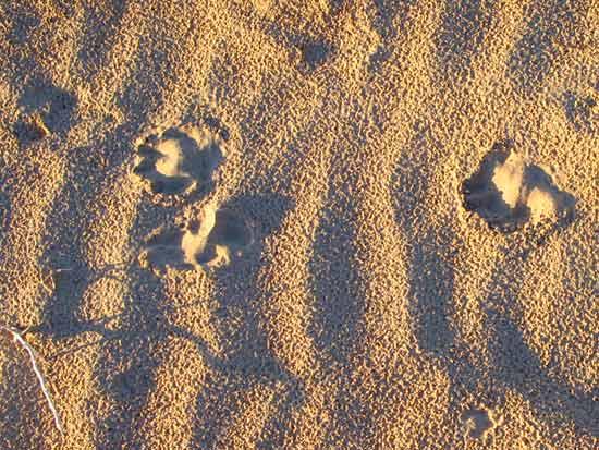 Wyatt's Tripawd Pawprints in the Sand