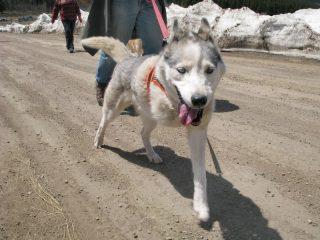 Three-Legged-Sled-Dog-Calpurnia-on-Colorado-Trail