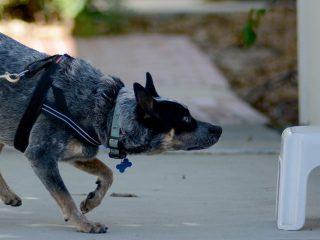Blind-nose-work-dog