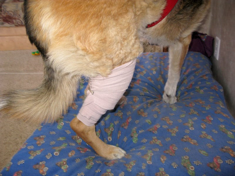 Ace Bandage on Dog Knee for ACL Tear