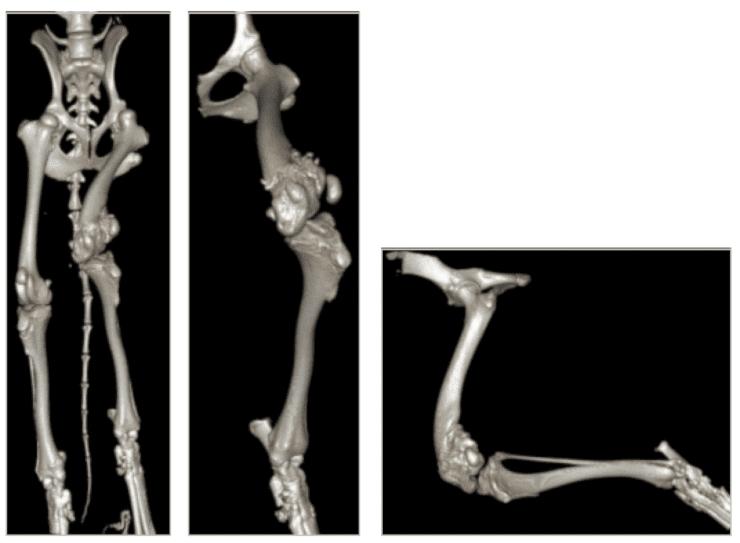 canine angular limb deformity radiograph