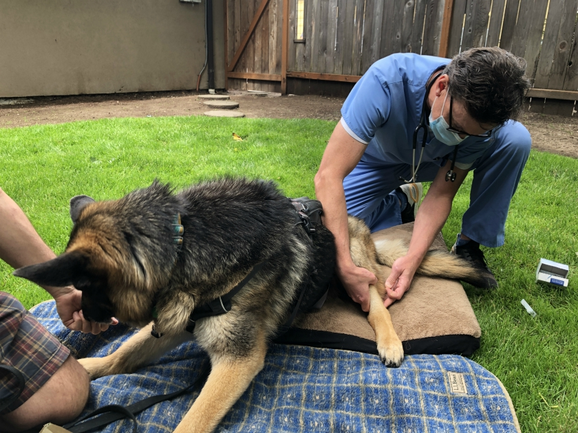 Tripawd acupuncture pain relief