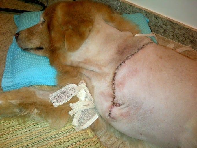 Dog amputation incision