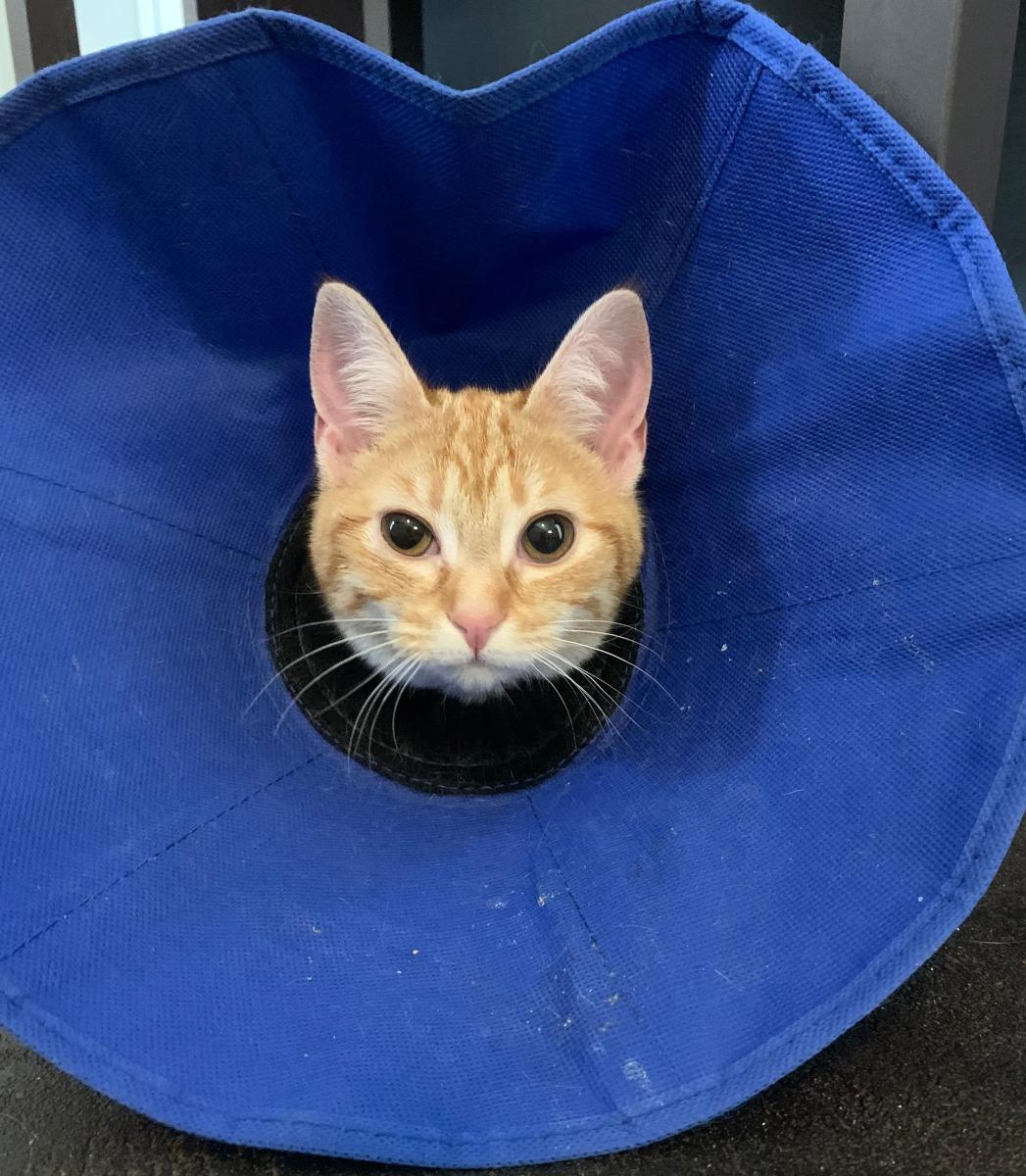 Marmalde Amputee Cat
