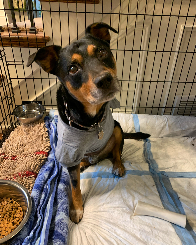 Tripawd Max post amputation recovery