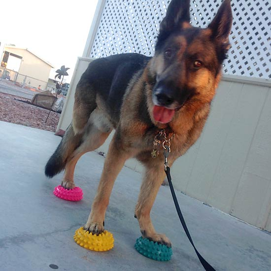 German Shepherd, Tripawd, amputee, three-legged, fitness, strengthening, FitPaws, Paw Pods