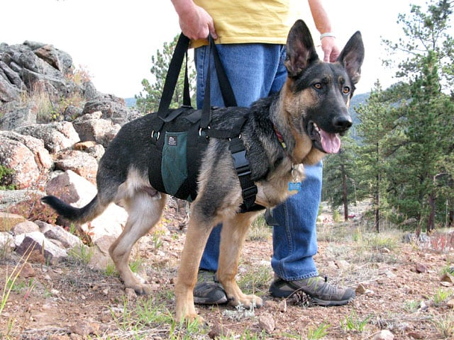 AST Get A Grip Support Harness on Three Legged Dog Wyatt