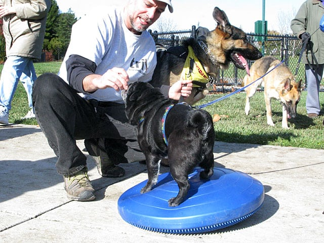 FitPAWS Balance Disc Pug Exercise