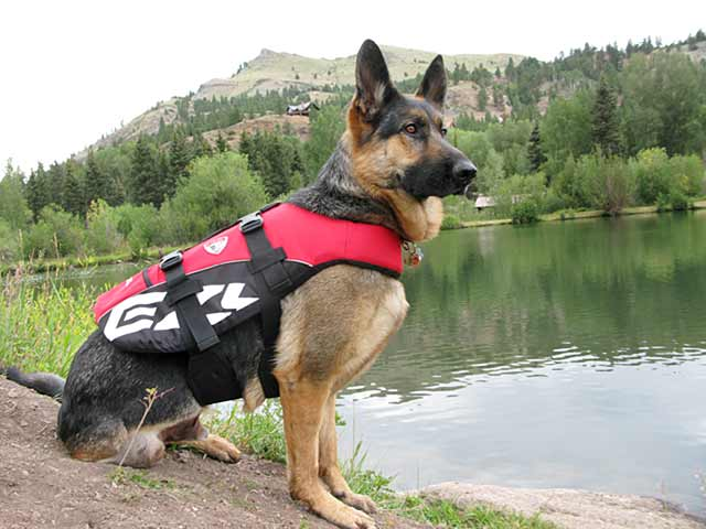 Wyatt wears EzyDog DFD life vest for dogs