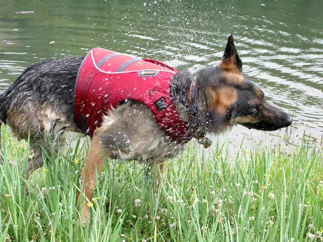 Three Legged GSD Shakes After Swimming in Ruffwear Float Coat
