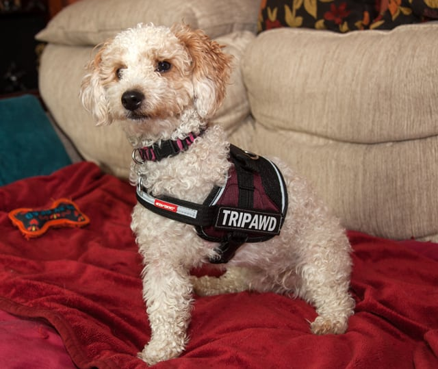 Tripawd, dog, breed, harness