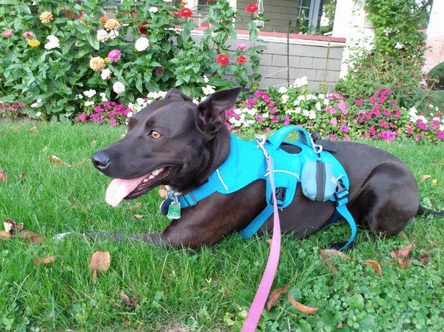 Jubilee models best Tripawd dog harness