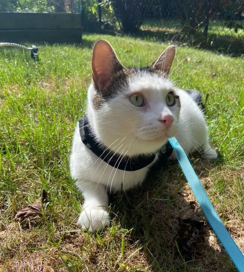 Quiggle Martingale Cat Harness Test