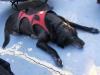 Ruff Wear harness helps rear leg dog amputee Sami