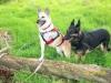 Three Legged Dog Wrigley Models Ruff Wear Harness