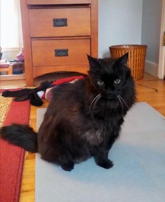 older three-legged cat