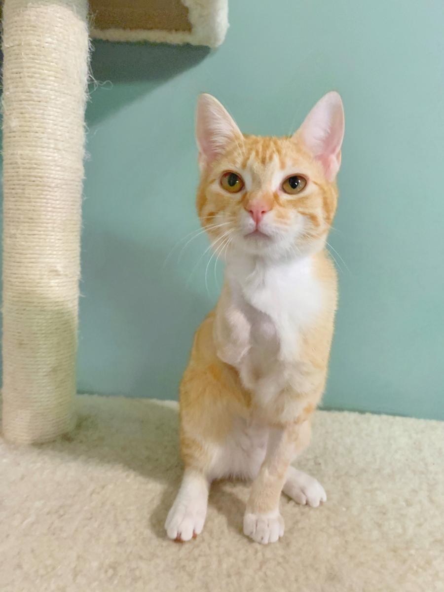 Marvelous Marmalde Amputee Cat