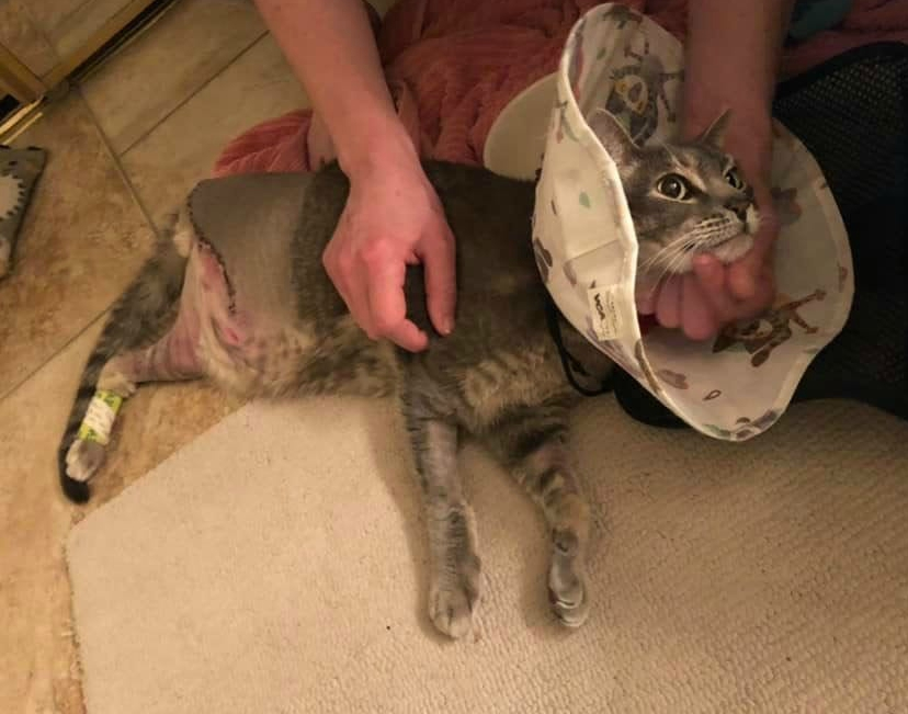 Tripawd cat amputation recovery
