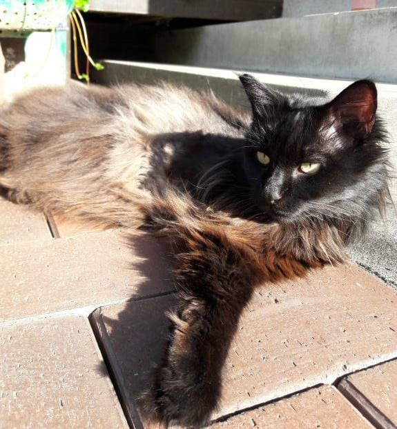 Opal the Tripawd Cat