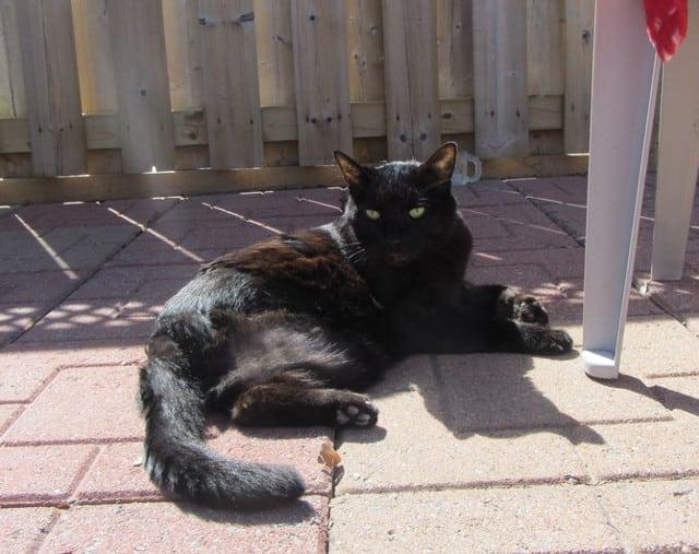 tripawd kitty cat basking in sun