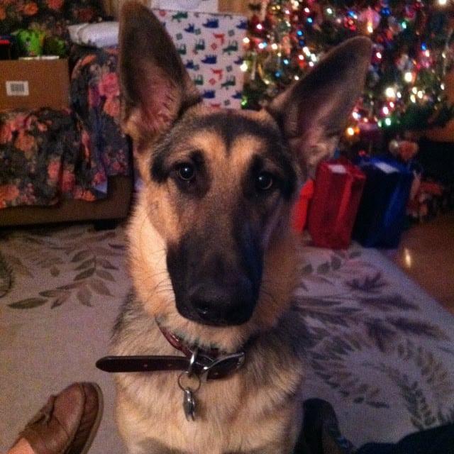 dog bone infection german shepherd