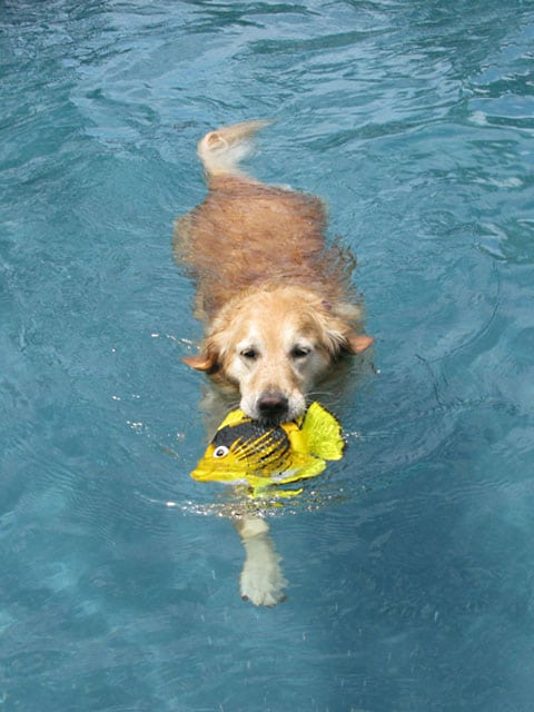 Three legged Golden Sasha swims one year after amputation