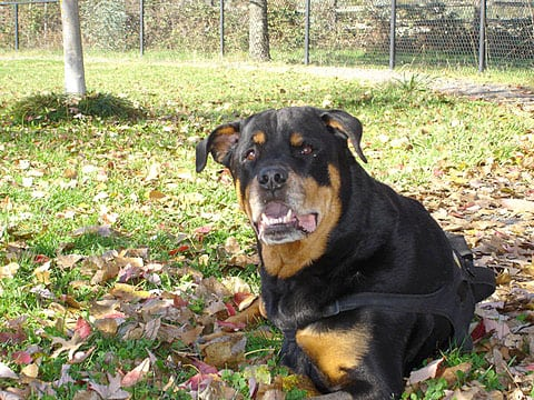 Three Year Cancer Suvivor Three Legged Rottie Sam