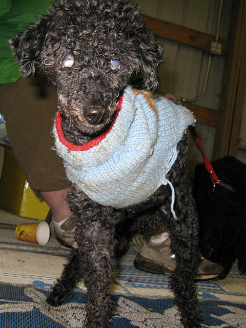 17 Year Old Three Legged Poodle James