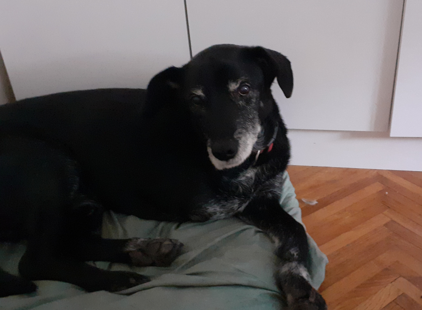 senior dog rescue Tripawd