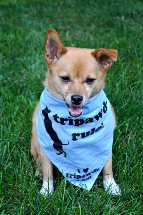 Tripawd, Bud, three-legged, dog, vasculitis, tripod, amputee