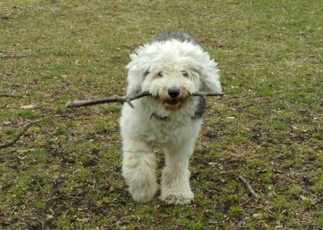 Osteosarcoma Sheepdog Tripawd