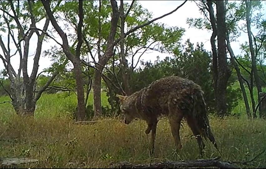 three legged coyote