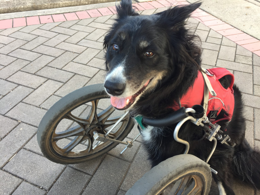 three-legged dog with front leg wheelchair