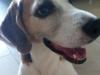 Three legged Beagle Teas in Singapore