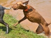Three Legged AKC Award Winning Vizsla Hunting Dog Bart