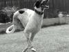Three Legged Grey Hound Dexter Running