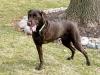 Three Legged Chocolate Labrador Retriever Charley