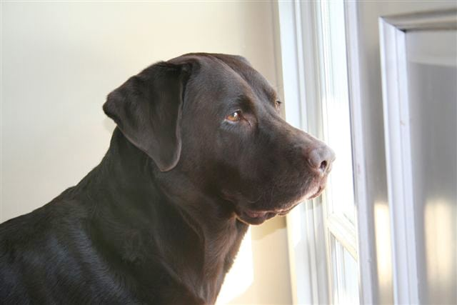 Charlie Brown Lab Canine Cancer Survivor