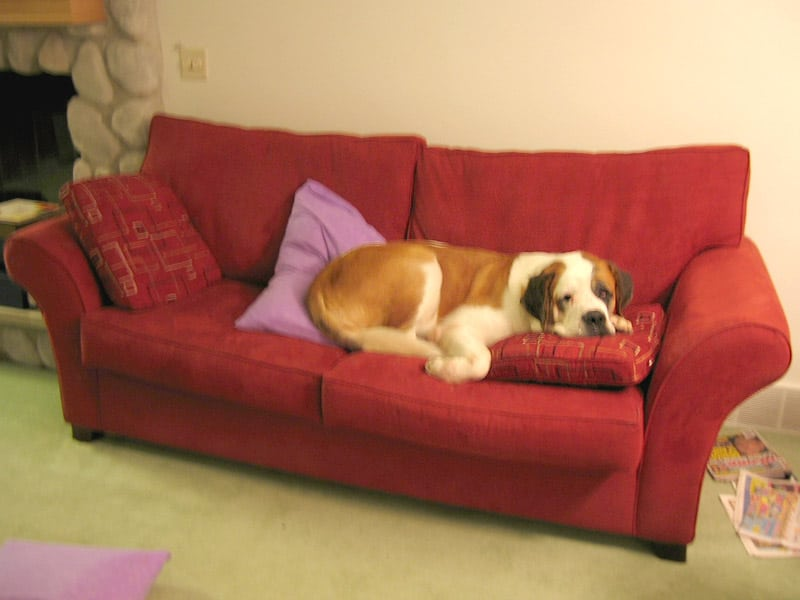 Saint Bernard Nori on her couch before osteosarcoma amputation