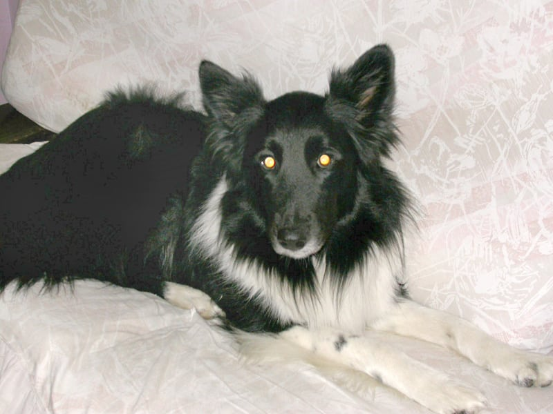 Dee Shepherd Collie Mix Osteosarcoma Cancer Survivor Dog