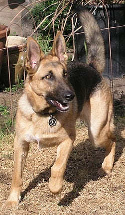 Codie Rae the Tripod German Shepherd from Oakland, CA