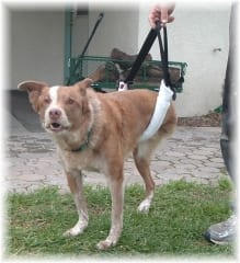 Sammy the Tripod Dog from California.