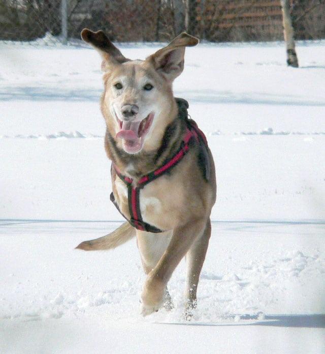 Canadian tripod dog Genie