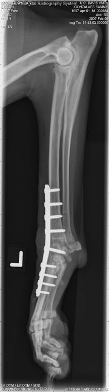 X rays of Sammy the tripod dog from California.