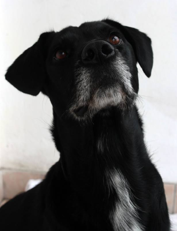 senior Tripawd rescue dog Ken