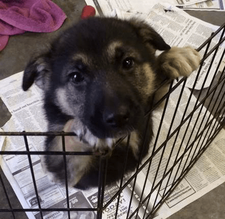 German Shepherd Puppy Tripawd