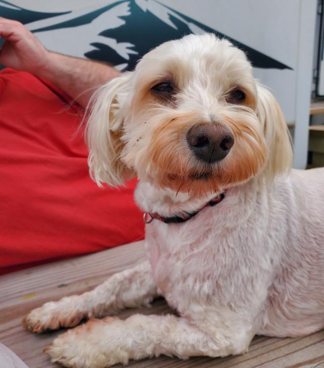 Hemangiosarcoma in Havanese dog