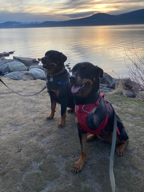 Tripawd Rottie plays with four-legged sibling