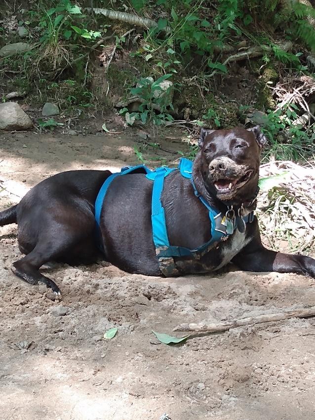 three-legged rescue dog