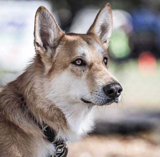Wolf Shepherd Tripawd Dog